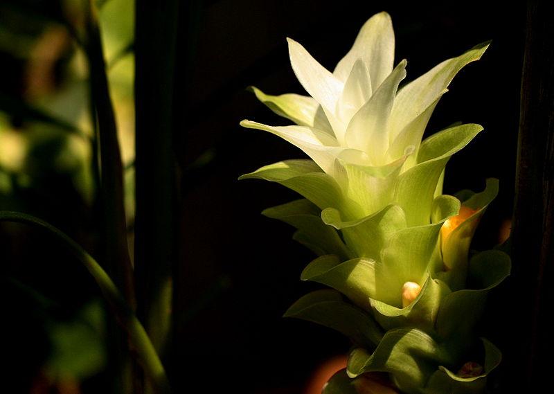 800px-Turmeric_Flower_Maharashtra_India