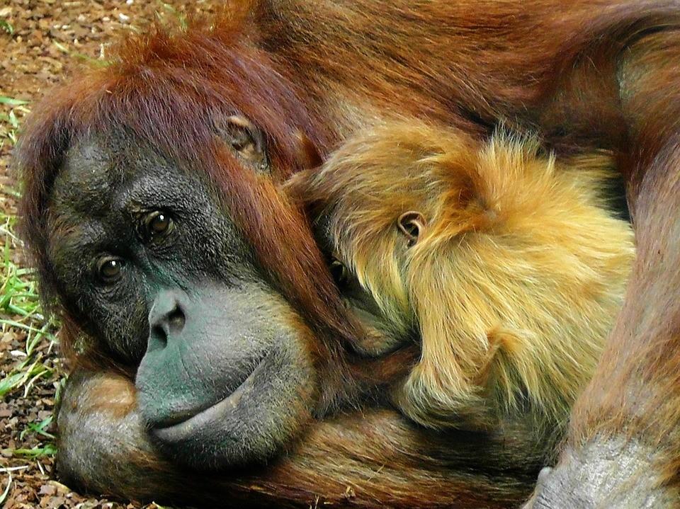 orangutan-498533_960_720