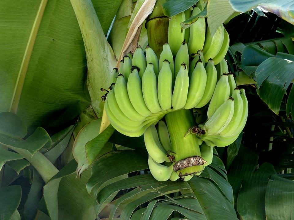 banana-288216_960_720