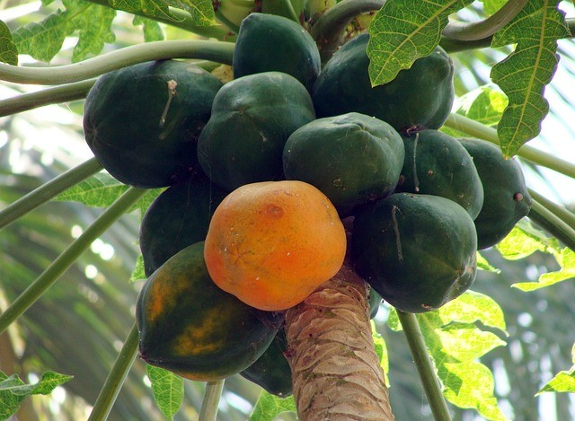 papaya-173660_640