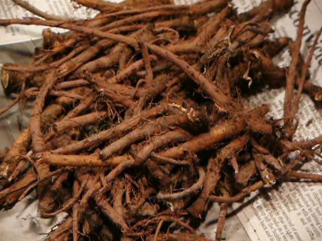 Dandelion_root