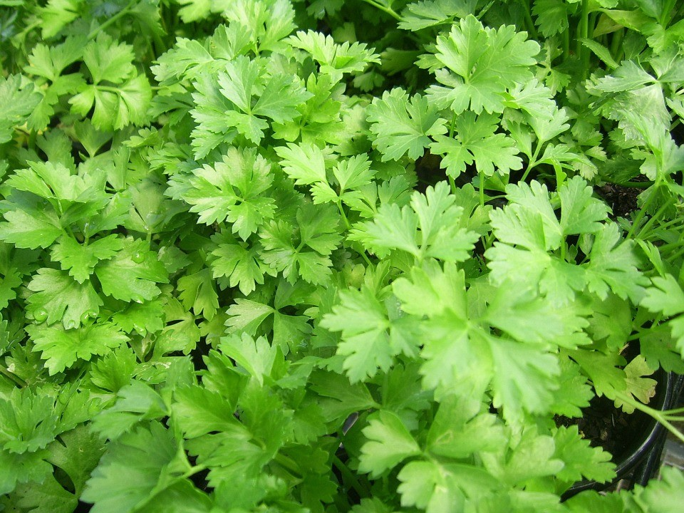 parsley-164165_960_720