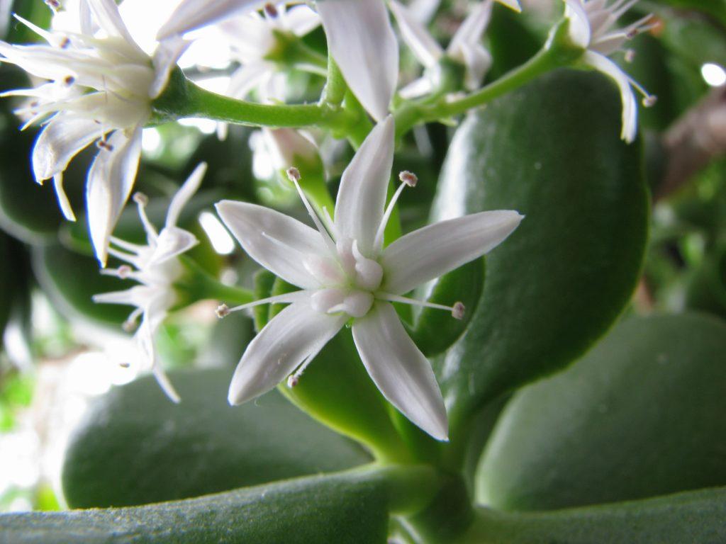 jade_flower